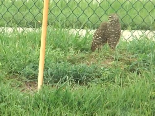 Burrowing Owl, Boynton Beach live cam