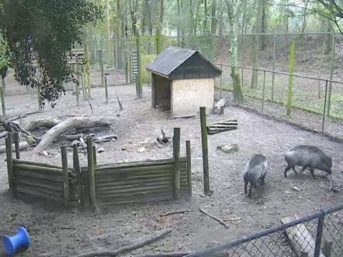Visayan Warty Pigs, Santa Fe College live cam