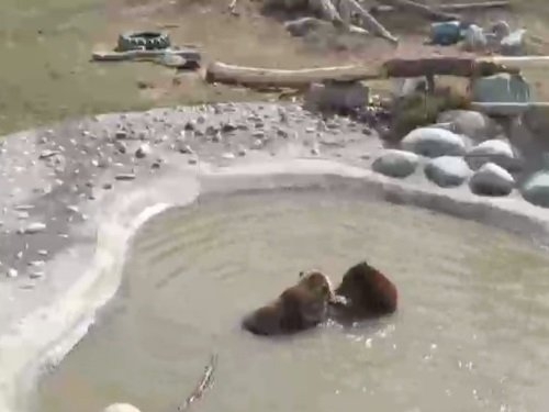 Grizzly Bear, Zoo Montana live cam