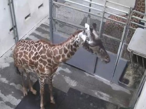 Giraffe Barn, Zoo Greenville live cam